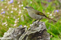Sombre Greenbul. The Sombre Greenbul (Andropadus importunus) is a member of the bulbul family of passerine birds. It is a resident breeder in coastal bush Royalty Free Stock Photo