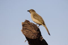 Sombre greenbul, Andropadus importunus. Single bird on branch, South Africa, August 2016 Royalty Free Stock Image
