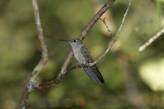 Sombre hummingbird, Aphantochroa cirrochloris. Single bird on perch, Brazil Royalty Free Stock Image