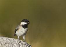 Sombre Tit. Is perching on a piece of rock royalty free stock images