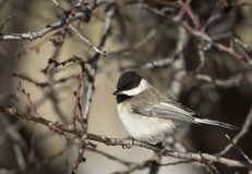 Sombre Tit. Is perching on a branch of a tree royalty free stock photography