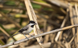 Sombre Tit on a Reed. A sombre tit is looking around on a piece of reed Stock Photos