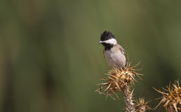 Sombre Tit on a Thistle. A sombre tit is looking around on a piece of thistle Stock Photography