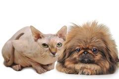 Sombrero calvo y perro mimoso Fotografía de archivo