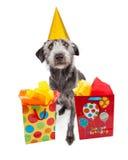 Sombrero del partido del perro que lleva con los regalos de cumpleaños Foto de archivo