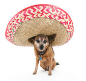 Sombrero dog. A chihuahua with a sombrero on his head stock photo