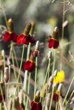 Sombrero mexicano o pradera Coneflower, columna del Ratibida Imagenes de archivo