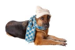 Sombrero que desgasta y bufanda del perro alemán del shephard Imagen de archivo libre de regalías
