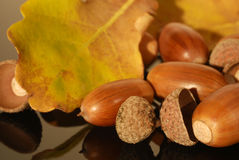 Some acorns in the autumn. Close to some acorns in the autumn stock image