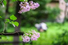Well kept yard of the old residential house, filled with lush greenery. Moscow suburbs, Russia. Some active reents enjoy helping the municipal services to take Royalty Free Stock Images
