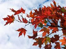 Some amongst us. Autumn leaves create a fiery circumstance Stock Image