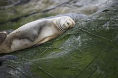 Some Antarctic seals lounging on the rocks stock images