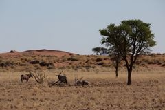 Antelope in the savanna in africa stock image