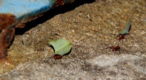 Some ants carrying sheets to the anthill. Some ants carrying seets to the anthill, walking through stones stock images