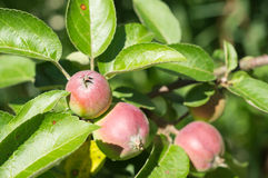 Some apples in a garden shined with the sun Stock Photography