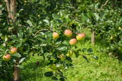 Some apples on a tree. Many apples on a tree Royalty Free Stock Image