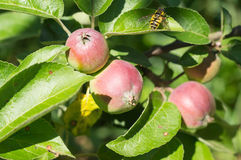 Some apples and wasp on a tree Stock Image
