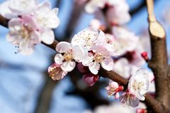 Some apricot flowers stock image