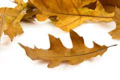 Some autumn leaves Stock Photos