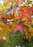 Some autumn leaves. Some different autumn leaves on a tree Royalty Free Stock Images