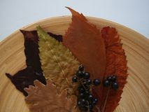 Some autumn leaves. And fox-grapes on a plate royalty free stock image