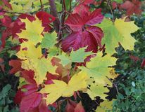 Some autumn leaves Royalty Free Stock Image