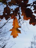 Some autumn leaves. On a tree royalty free stock image