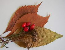 Some autumn leaves. On white backgorund stock image