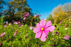 Some autumnal colored flowers in a park.  royalty free stock images