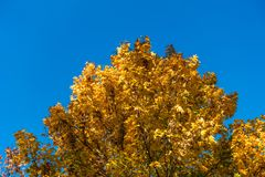 Some autumnal colored trees with blue sky.  stock photography