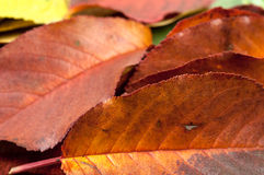 Some autumnal leaves Royalty Free Stock Images