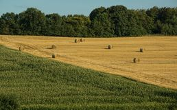 Some bale of straw on a field. Some bale of straw on golden field surrounded by corn and a forest Stock Photo