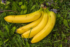 Some bananas in the meadow. Some yellow bananas in the grass stock photo