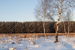 Some bare birch trees on a forest glade, winter time. Some bare birch trees on the glade before a pine forest. Sunset, winter time Royalty Free Stock Image