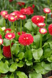 Bellis perennis. Some beautiful blooming Red Daisy Royalty Free Stock Photos