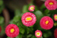 Bellis perennis. Some beautiful blooming Red Daisy Stock Images