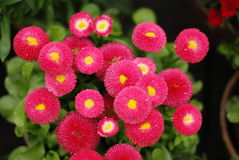 Bellis perennis. Some beautiful blooming Red Daisy Stock Photography