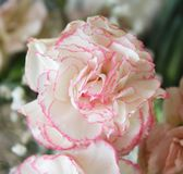 Some beautiful carnations stock image