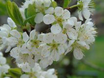 Some beautiful flowers from the village. Some beautiful flowers from the cherry tree in spring time stock photography
