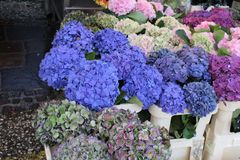 Some beautiful hortensias royalty free stock images