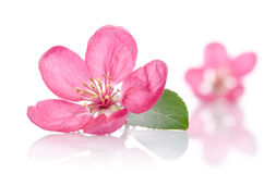 Some beautiful pink flowers. On white background Stock Image