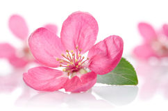 Some beautiful pink flowers. On white background Royalty Free Stock Images