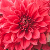 Some beautiful red flower blossom in nature.  Royalty Free Stock Photos
