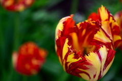Some beautiful red yellow tulips on a green background. Close-up top view Royalty Free Stock Photography