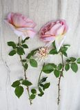 Some beautiful roses. On textile Stock Images