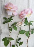 Some beautiful roses. On textile Royalty Free Stock Images