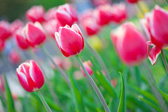 Some beautiful tulips Stock Image