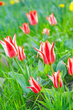 Some beautiful tulips Royalty Free Stock Photos