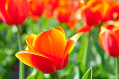 Some beautiful tulips Royalty Free Stock Photography