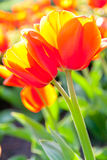 Some beautiful tulips Royalty Free Stock Photo